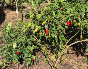 small perennial capsicum